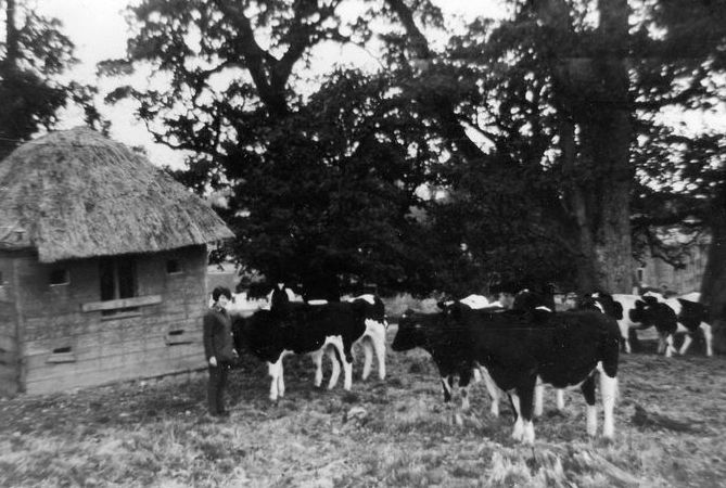 hut cows