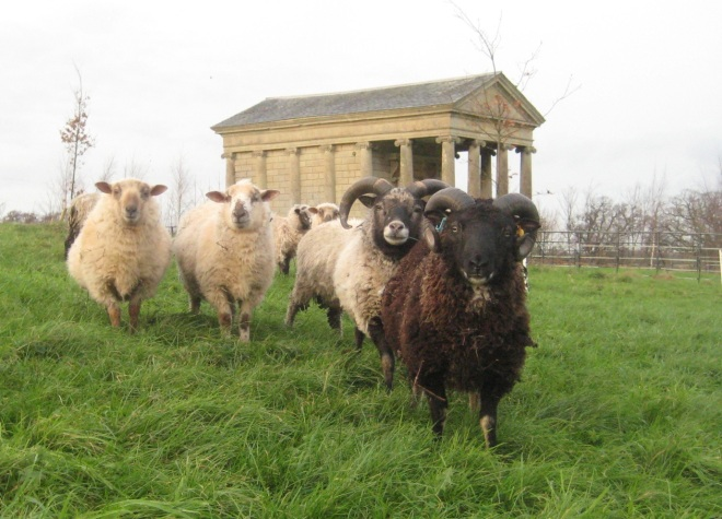 Said wildlife! - The Mill Wood Mowers. Sheep and rams courtesy of Conor Doherty who is the resident shepherd at Halswell.